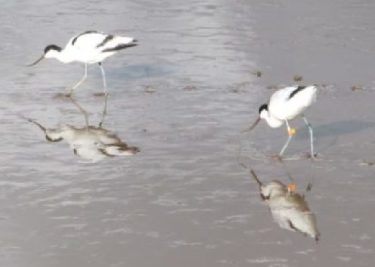 Two birds feeding in wet sand