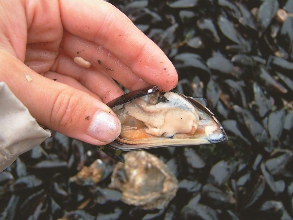 Image 5c Exe Estuary Mussels. Source: EEMP.